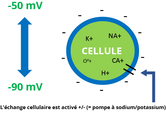 Voltage membranaire d'une cellule