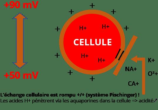 Echange cellulaire